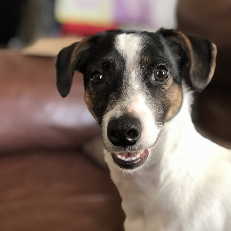 1 Jack Russell Terier