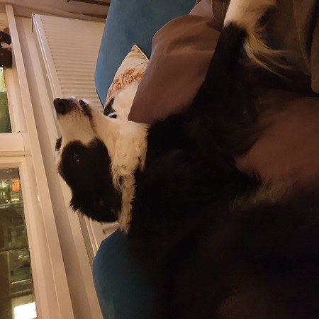 1 border collie