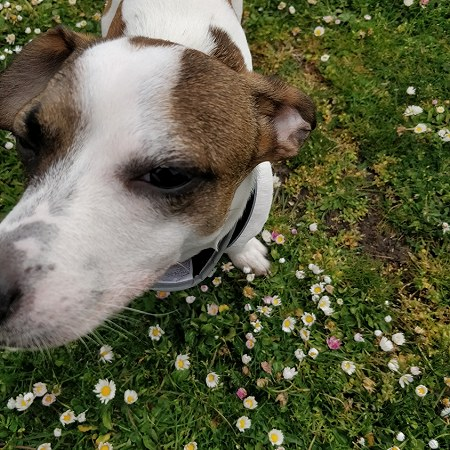 1 Jack Russell terrier